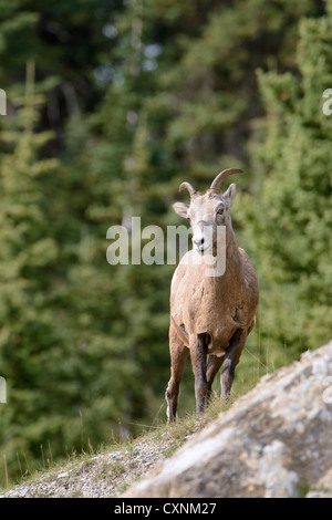 Rocky Mountain Bighorn Ewe - Ovis canadensis - Northern Rockies - Stock Photo