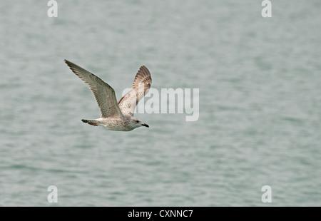 JUVENILE HERRING GULL Larus argentatus IN FLIGHT. UK - Stock Photo