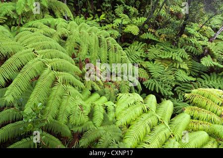 Elk284-2343 Hawaii, Big Island, Volcanoes National Park, Thurston Lava Tube, ferns - Stock Photo