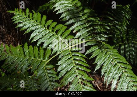 Elk284-2347 Hawaii, Big Island, Volcanoes National Park, Thurston Lava Tube, fern - Stock Photo
