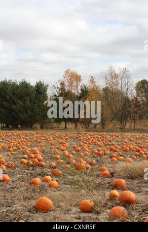 A big pumpkin patch. - Stock Photo