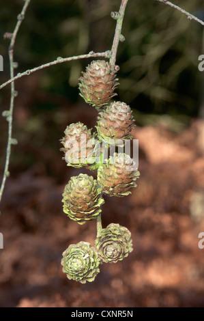 Japanese Larch Larix kaempferi (Pinaceae) - Stock Photo