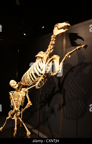 human and horse skeleton in action at the natural history museum in balboa park, sand diego, california
