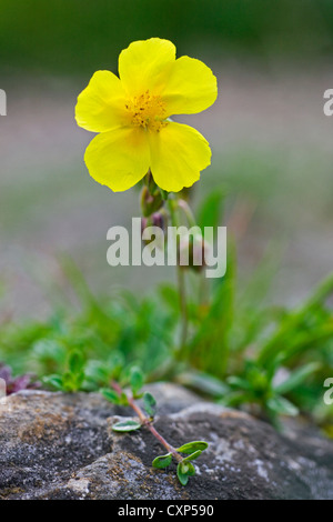 Common Rockrose (Helianthemum nummularium) flowering on rock, Belgium - Stock Photo