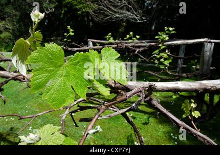 Fresh new green vine leaf in a vineyard. - Stock Photo