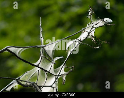Webs of the tent caterpillar in the branches of a tree - Stock Photo