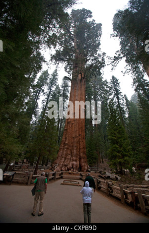 Tourists look General Sherman Giant Sequoia tree (Sequoiadendron giganteum) Sequoia National Park California United - Stock Photo