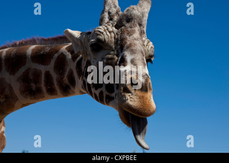 Detailed view head male Giraffe (Giraffa camelopardalis) sticking out tongue Out Africa Wildlife Park Camp Verde - Stock Photo
