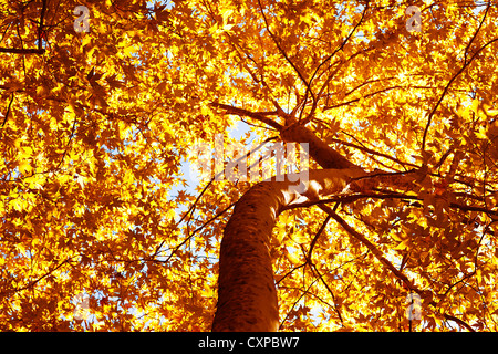 Picture of beautiful autumn tree, dry yellow foliage on old tree trunk, abstract golden leaves background, huge - Stock Photo