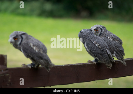 Three scops owls sitting on fence in England - Stock Photo