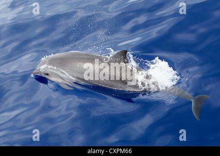 Lagenodelphis hosei, Fraser`s Dolphin, Sarawak Dolphin, Borneo-Delfin, wild, Maldives - Stock Photo
