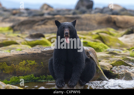 black bear sat on a rock yawning at the top of a waterfall whilst fishing vancouver island canada - Stock Photo