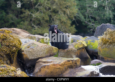 Black bear yawning sat on a rock at the mouth of the keogh river vancouver island canada - Stock Photo