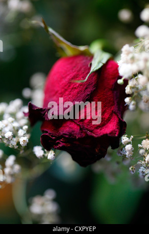 Dried rose - Stock Photo