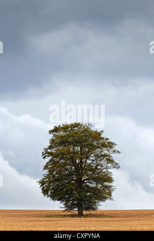 Rainclouds building up over an isolated oak tree - Stock Photo