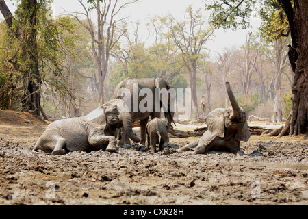 African Elephants bathing in mud, Mana Pools, Zimbabwe - Stock Photo