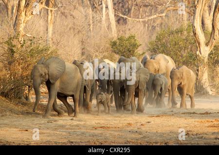 Herd of African Elephants on the move, Mana Pools, Zimbabwe - Stock Photo