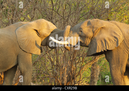African Elephant bulls greeting each other by putting trunks in mouths, Mana Pools, Zimbabwe - Stock Photo