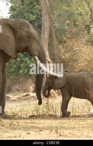 Adult male African Elephant with trunks over calf, Mana Pools, Zimbabwe - Stock Photo