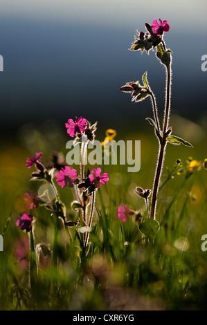 Red campion (Silene dioica), backlit, Auerberg, Rieden, East Allgaeu, Swabia, Bavaria, Germany, Europe - Stock Photo