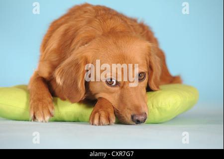 Mixed-breed dog lying on a green cushion - Stock Photo