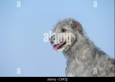 Irish Wolfhound, portrait - Stock Photo