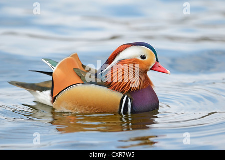 Mandarin duck (Aix galericulata), drake, Berlin, Germany, Europe - Stock Photo
