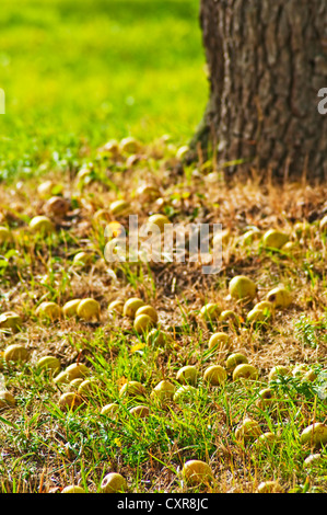 fallen apples - Stock Photo