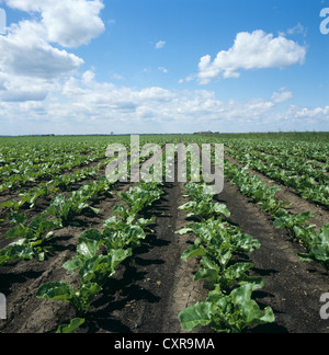 Low angle view of young sugar beet crop on fine early summer day - Stock Photo