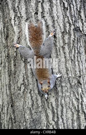 Grey or Gray Squirrel (Sciurus carolinensis), on a tree trunk in Washington Square Park, Greenwich Village, Manhattan - Stock Photo