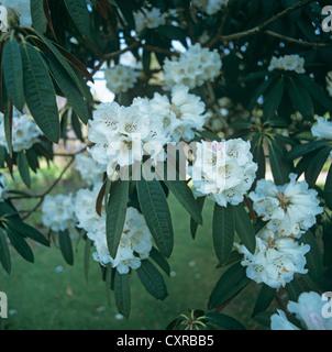 Large flowering ornamental shrub or tree, Rhododendron falconeri, - Stock Photo
