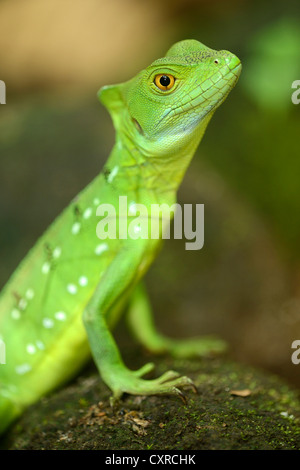Plumed basilisk, Green basilisk, Double crested basilisk or Jesus Christ lizard (Basiliscus plumifrons), female, - Stock Photo