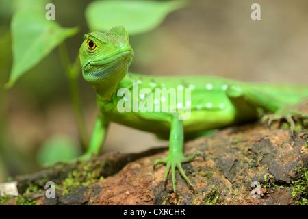 Plumed basilisk, Green basilisk, Double crested basilisk or Jesus Christ lizard (Basiliscus plumifrons), female, - Stock Photo