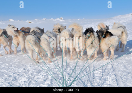 Greenland sled dogs, dog sledding trip to Ilulissat Fjord, Greenland, Arctic North America - Stock Photo