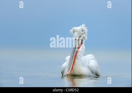 Dalmatian Pelican (Pelecanus crispus), Lake Kerkini, Greece, Europe - Stock Photo