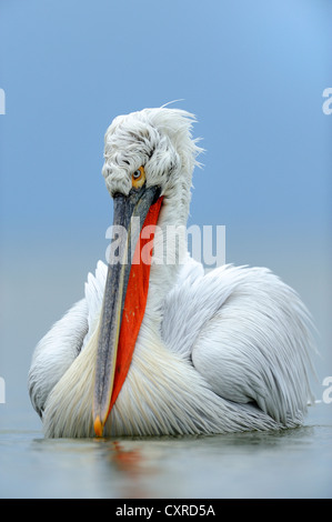 Dalmatian Pelican (Pelecanus crispus) in breeding plumage, Lake Kerkini, Greece, Europe - Stock Photo