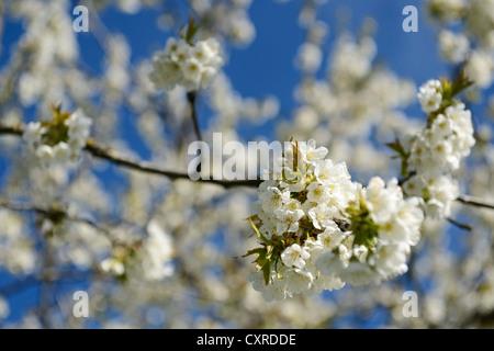 Blossoming branch of an apple tree, Chiemgau region, Upper Bavaria, Bavaria, Germany, Europe - Stock Photo