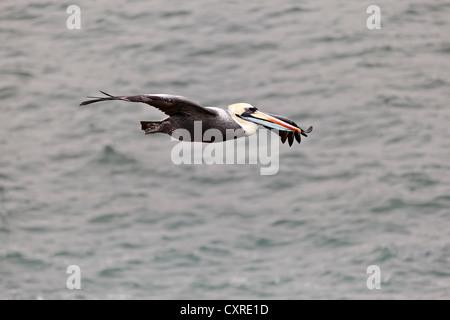 Chile Pelican (Pelecanus thagus) in flight over water, Paracas, Peru, South America - Stock Photo