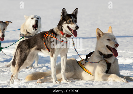 Sled dogs, lead dogs, Alaskan Huskies, in harness, panting, resting in snow, frozen Lake Laberge, Yukon Territory, - Stock Photo