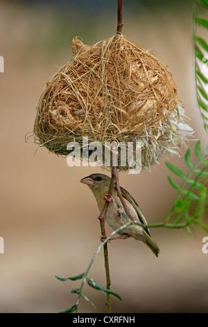 Southern Masked Weaver (Ploceus velatus), female below a nest, Oudtshoorn, Little Karoo, South Africa, Africa - Stock Photo