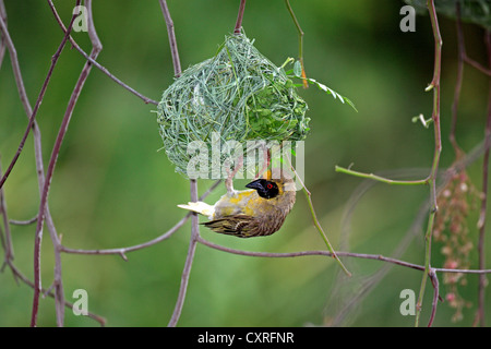 Southern Masked Weaver (Ploceus velatus), male on a nest, Oudtshoorn, Little Karoo, South Africa, Africa - Stock Photo