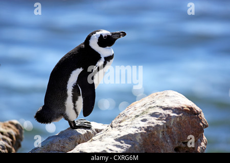 Jackass Penguin, African Penguin or Black-Footed Penguin (Spheniscus demersus), perched on rocks, Boulder, Simon's - Stock Photo
