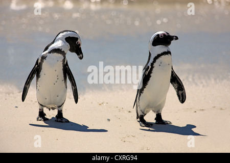 Jackass Penguins, African or Black-footed Penguins (Spheniscus demersus), pair on the beach, Boulder, Simon's Town, - Stock Photo