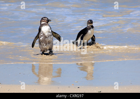 Jackass Penguins, African or Black-footed Penguins (Spheniscus demersus), subadults on the beach, Boulder, Simon's - Stock Photo