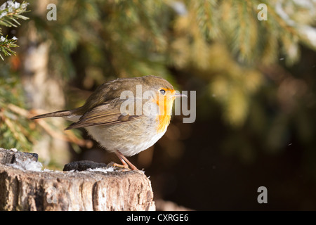 Robin (Erithacus rubecula), perched on a tree stump, Bad Sooden-Allendorf, Hesse, Germany, Europe - Stock Photo