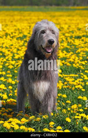 Irish Wolfhound (Canis lupus familiaris), male - Stock Photo