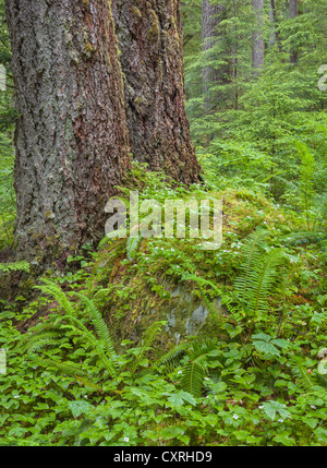 Olympic National Park, Washington Flowering bunchberry and ferns under old growth Douglas fir trees in the Sol Duc - Stock Photo