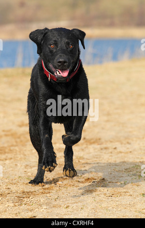Black Labrador Retriever (Canis lupus familiaris), male dog running - Stock Photo