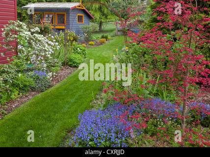 Japanese maple (Shishio improved) and blue-eyed Mary (Omphalodes sp.) in a perennial garden bed in spring with grass - Stock Photo