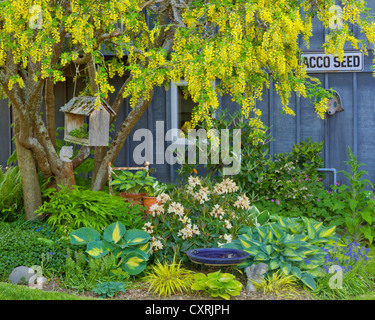Spring garden bed with blooming rhododendron, grape hyacinth, hostas, and Japanese forest grass under a golden chain - Stock Photo
